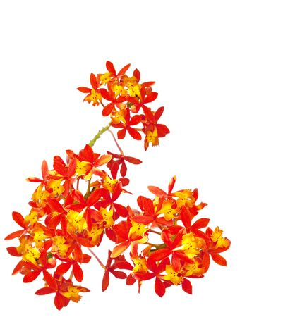 Red orange orchid flowers isolated on white background Reklamní fotografie - 5690233