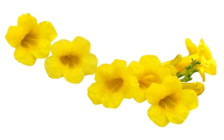 Allamanda Golden Trumpet (yellow bell) flower isolated on white Stock Photo - 5707197