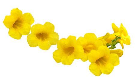 Allamanda Golden Trumpet (yellow bell) flower isolated on white Stock Photo - 5707197