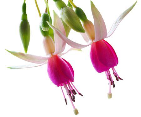 Frische Fuchsia Blumen auf weißen Hintergrund isoliert