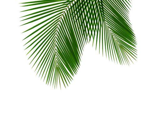 Single coconut leaf isolated on white background Stock Photo