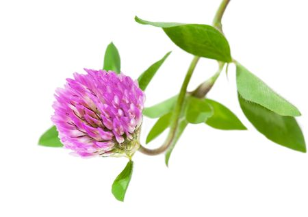 trifolium: Trifolium pratense pink clover flower and leaves isolated on white background  Stock Photo