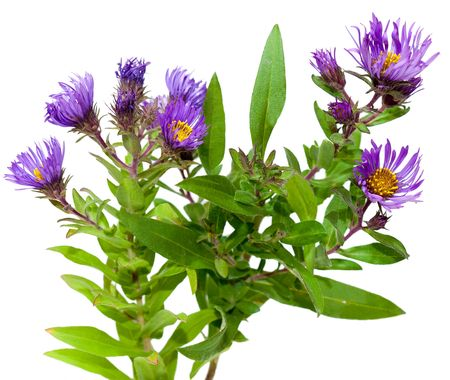 Aster flower plants isolated on white background photo