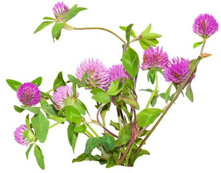 Bundle of pink clover flowers trifolium pratense isolated on white photo