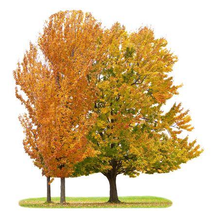 Three maple trees isolated on white background Stock Photo