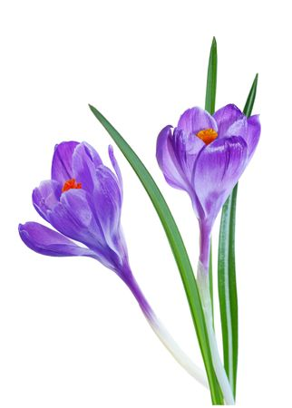 Two blue purple crocus flower isolated on white background photo
