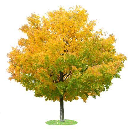 白で隔離される秋に 1 つのカエデの木