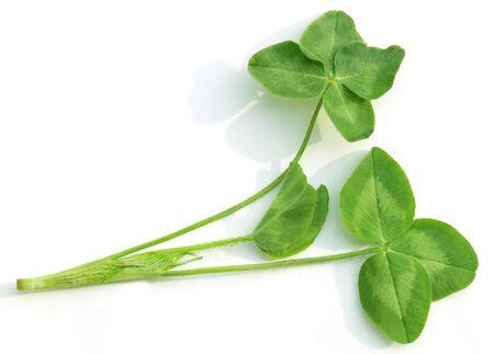 Shamrock clover leaves isolated on white background Stock Photo - 5804966