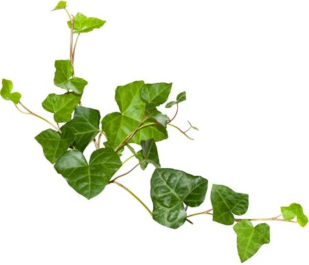 botanical branch: Evergreen ivy twigs isolated on white background Stock Photo
