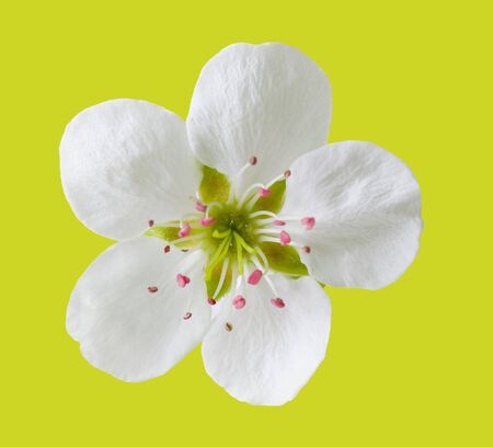 Single fresh pear flower isolated on yellow green background Stock Photo