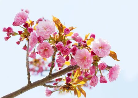 Branch of pink cherry blooming over blue sky photo