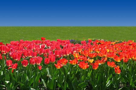 Tulip flowers in the field in a sunny day Stock Photo