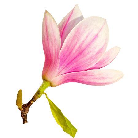 Single magnolia flower isolated on white background photo