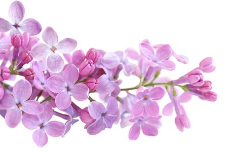Close up of fresh lilac blossom isolated on white 版權商用圖片