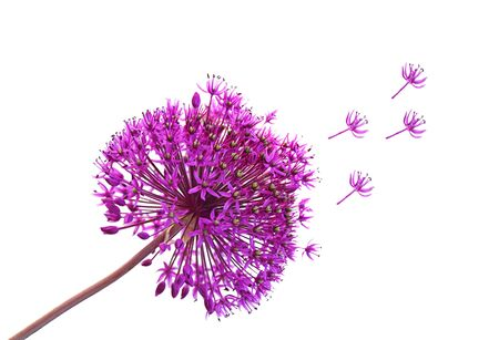 Single purple Alliums Ornamental Onions isolated on white Stock Photo - 5903411