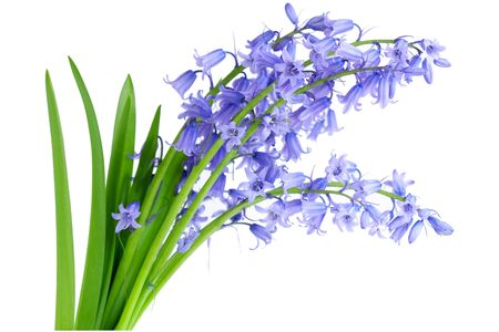 bluebells: Bundle of common lavender bluebell flowers isolated on white Stock Photo