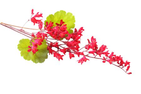 coral bell: Heuchera Rosada coral bells flower isolated on white Stock Photo