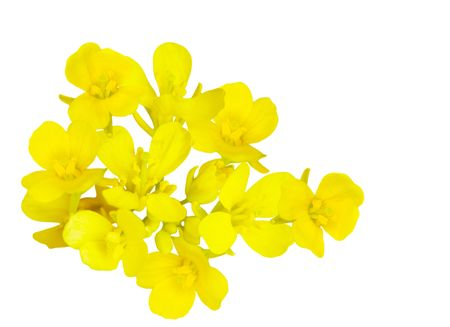 oilseed rape: Rapeseed (Brassica napus) blossom isolated on white background