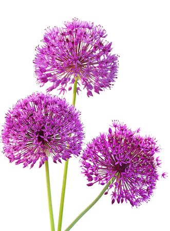 Three Alliums Ornamental Onions isolated on white background photo