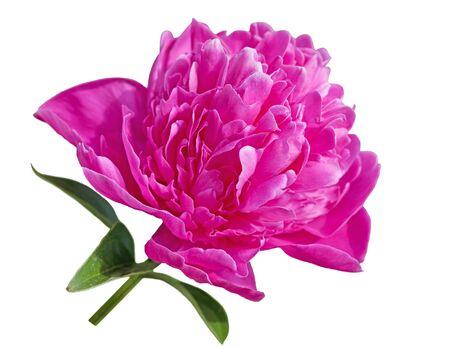 Single peony flower isolated on white background