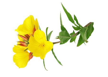 yellow evening primrose Sundrop oenothera fruticose flower isolated on white