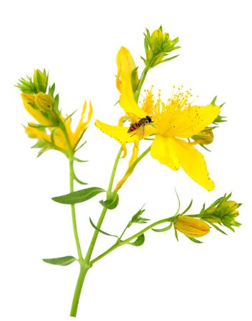 Common St. Johnswort Hypericum perforatum yellow wild flowers and fly
