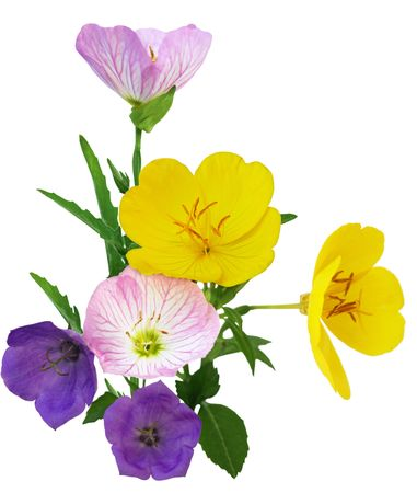 sundrops: Southern Sundrops Oenothera fruticosa Multicolor everning primrose flowers