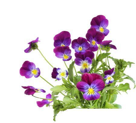 Bundle of purple pansy flowers isolated on white