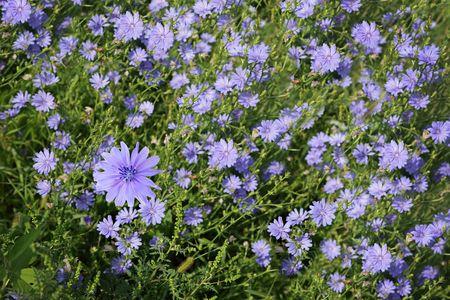 Blue cichorium chicory wild flowers on the field photo