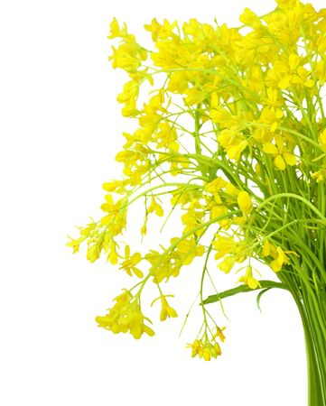 Bundle of rape seed flowers isolated on white