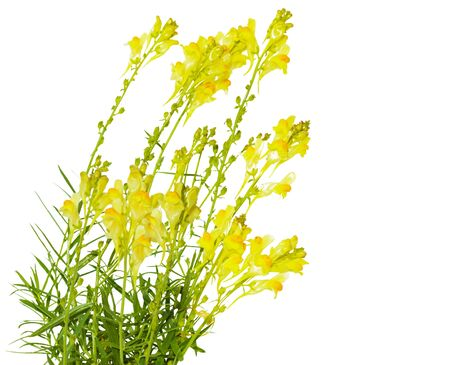 common snapdragon: Butter and eggs (Linaria vulgaris) toadflax flowers isolated on white Stock Photo