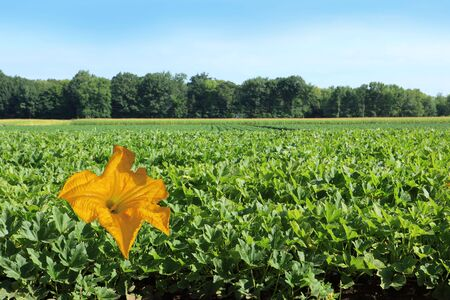 Flower of squash zucchini plant on the field photo