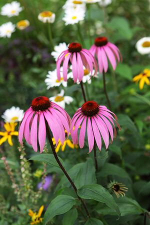 dicot: Pink cone flower plant in the garden