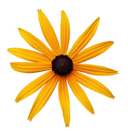 Black-Eyed Susan, Rudbeckia hirta, flower, single, isolated, white background, orange, yellow, brown, petal, details, blooming, blossom, floral, perennial, daisy, coneflower, chrysanthemum, aster photo
