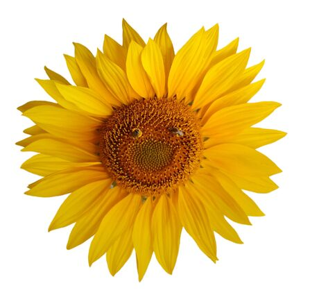 Single sunflower with two bee foruming a smily face Stock Photo - 6115347