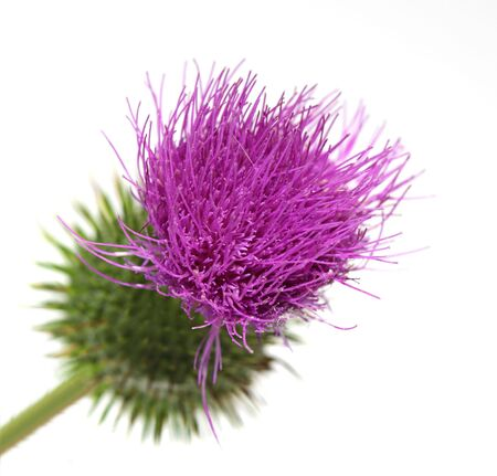 Single thistle flower isolated on white background