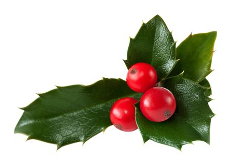 Fresh holly leaves and red berry over white Stock Photo