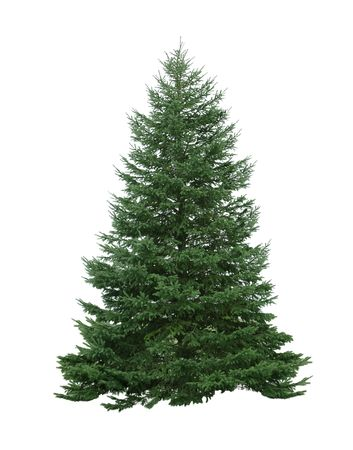 Single pine tree isolated on white background