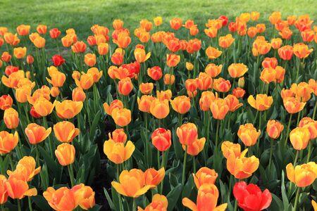 Orange red multicolor tulip flower plants on the field photo