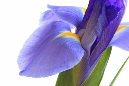 lila: Blue lila iris flower isolated on white background