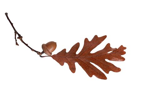 Acorn and oak leaf on branch isolated on white