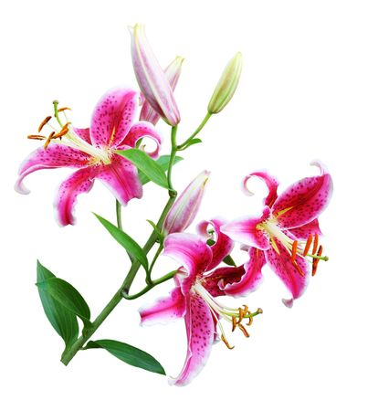 Pink oriental lily flowers on branch isolated over white photo
