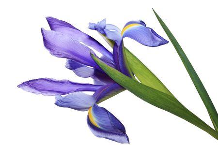 Single blue iris flower isolated on white background