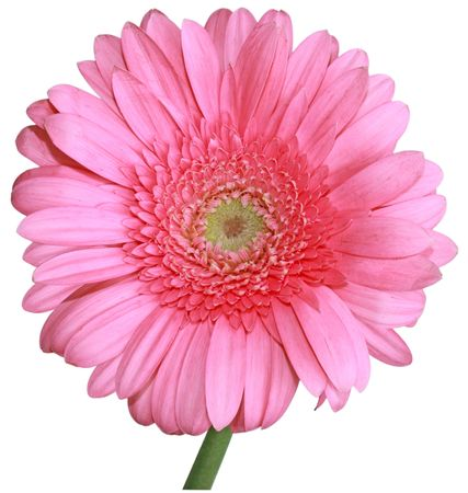 Single fresh pink gerbera flower isolated on white photo