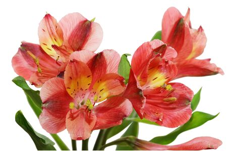 alstroemeria: Fresh alstroemeria flowers isolated on white background