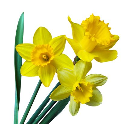 Three daffodil flowers isolated on white background Stok Fotoğraf