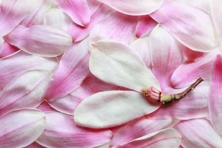 Petals of magnolia flowers for nature background photo
