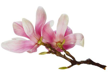 Twee magnolia bloemen op tak op wit wordt geïsoleerd