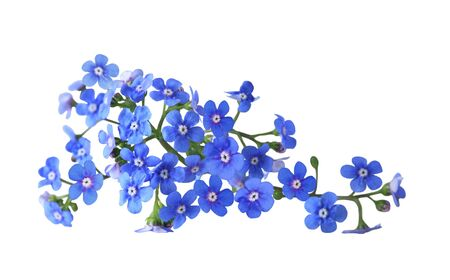 Bundle of fresh blue forget me not flower