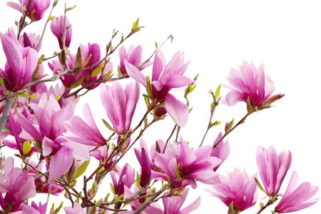 Magnolia flowers blooming isolated on white background Stock Photo